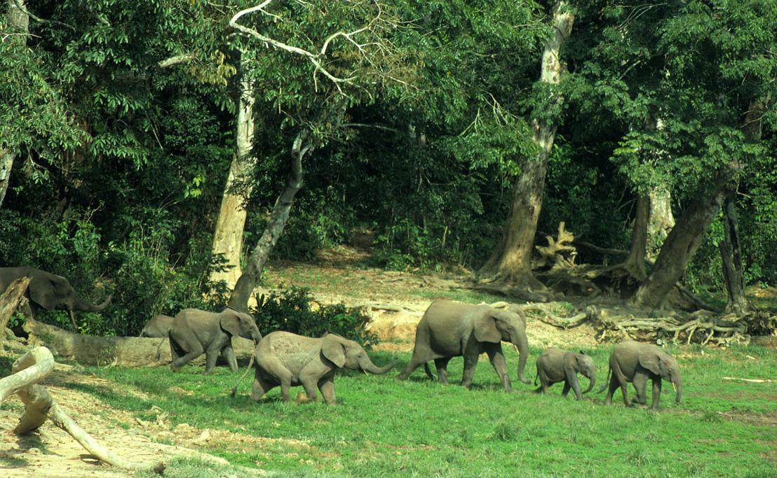 Olifantencrisis in Afrika is groter dan ooit - Gabon is 80% van populatie kwijt