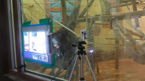 Digital games can improve life for apes in captivity