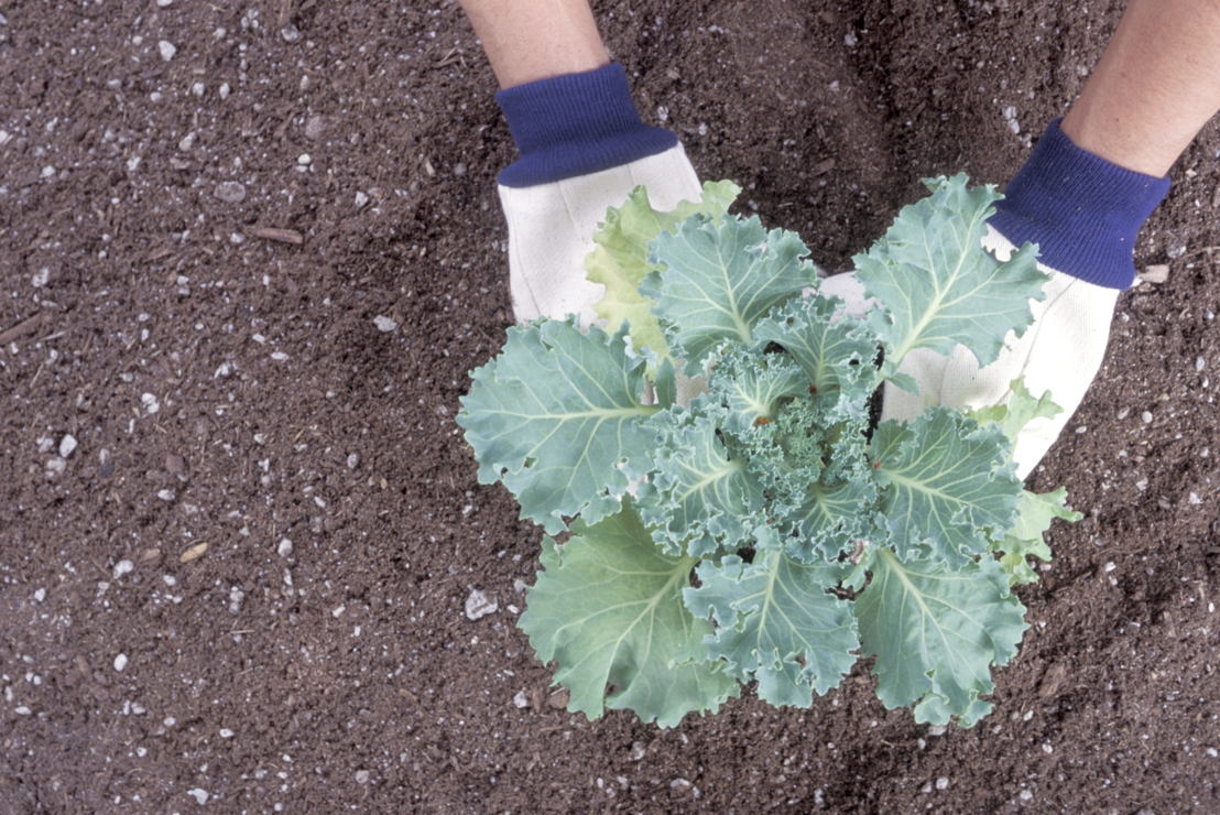 Fall Planting Cabbage - Growing Own Food (photo credit Pike Nurseries)