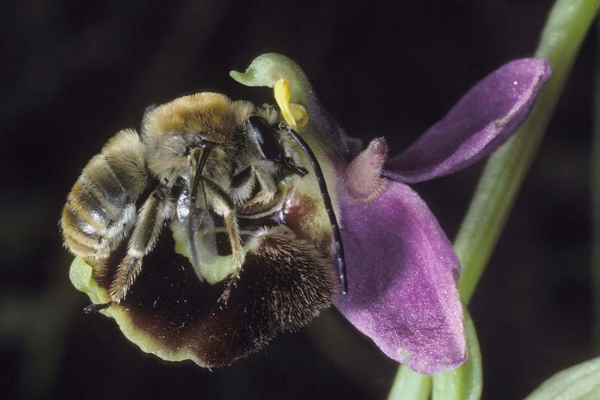 Chapitre 3- Les orchidées, leurres sexuels © Pierre Delforge -  www.orchideurope.be