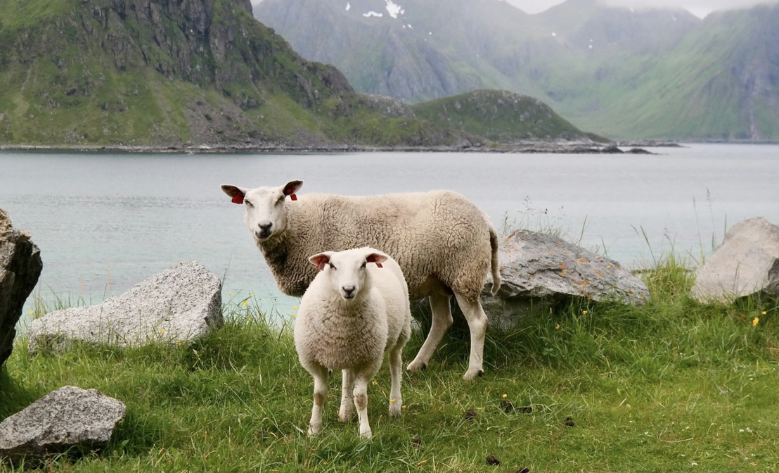Judgment by the Court of Justice of the European Union: Flemish ban on unstunned slaughter upheld