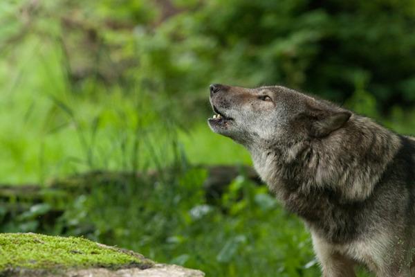 Preview: Bienvenue aux loups