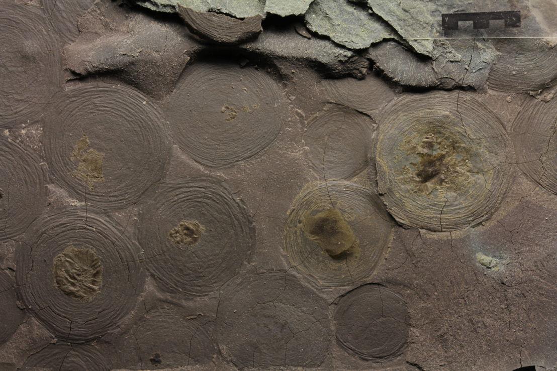 One of the Ediacara biota fossils, Beltanelliformis. Image credit:  Ilya Bobrovskiy, ANU