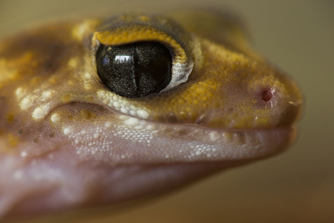The clear scale over the Underwoodisaurus' eye helps them avoid water loss from the surface of their eye. Image: Stuart Hay, ANU.
