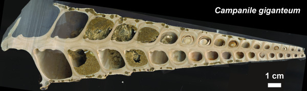 Preview: Giant sea snail fossil reveals climate of French Champagne region 45 million years ago