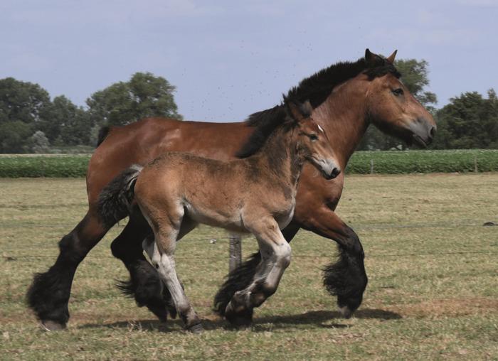 Dag van het paard: provinciale prijskamp van het trekpaard in De Brielmeersen Deinze