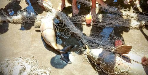 Preocupación mundial por la Franciscana, un delfín que habita en la costa argentina