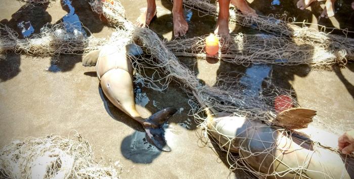 Preview: Preocupación mundial por la Franciscana, un delfín que habita en la costa argentina