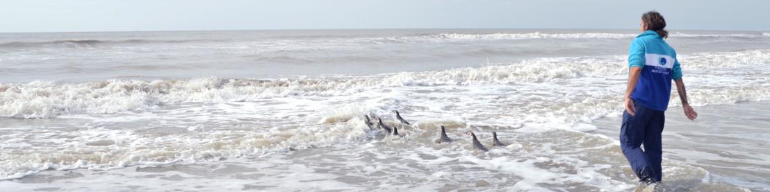 El tierno regreso al mar de nueve pingüinos magallánicos