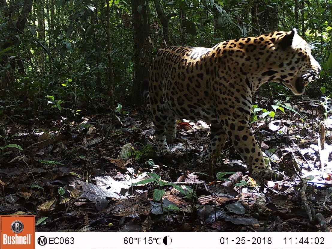 Panthera onca -®WWF-Ecuador