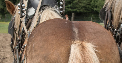 Provincie brengt Brabants trekpaard tot leven op 23/2