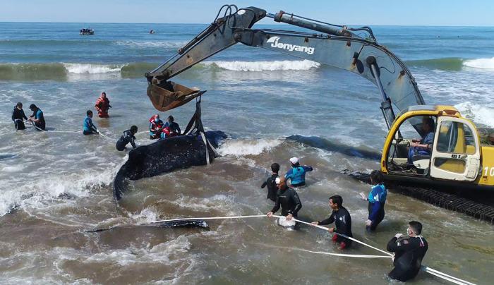 VIDEO: Luego de 28 horas de intenso trabajo, rescatistas lograron reinsertar a la ballena varada en Mar del Tuyú
