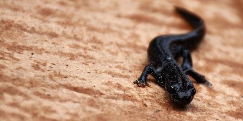 Vlaanderen helpt Herselt planten voor vleermuis, salamander en vlinder