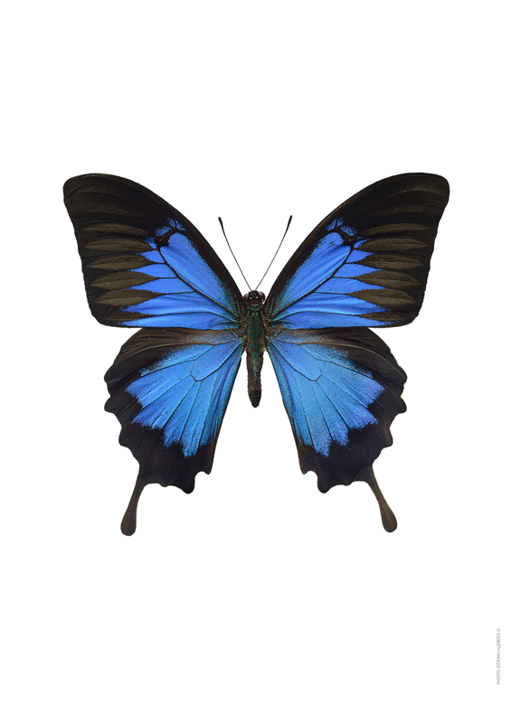 Papilio ulysses 34€