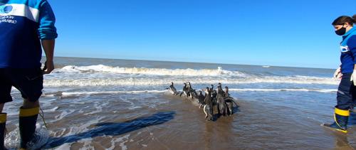 14 pingüinos magallánicos rescatados regresaron al mar para retomar su viaje migratorio