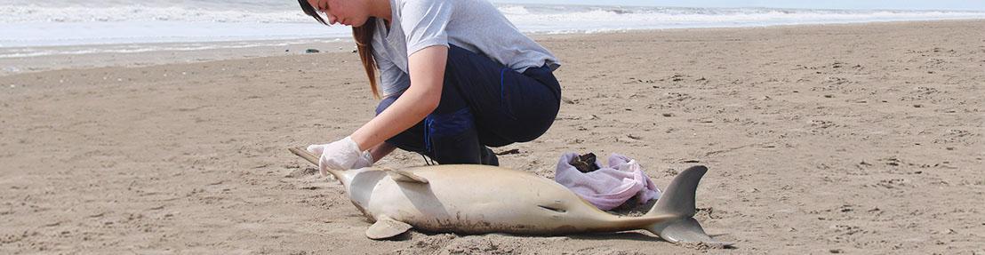 Alerta el hallazgo de delfines sin vida en las playas del Partido de la Costa
