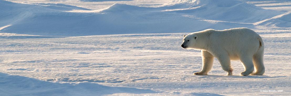 Internationale ijsbeer dag – Er is nieuw wetenschappelijk bewijs dat de soort lijdt onder de klimaatverandering, zegt WWF