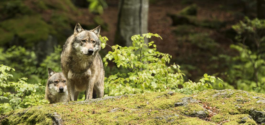 Tweede wolf in Leopoldsburg geïdentificeerd