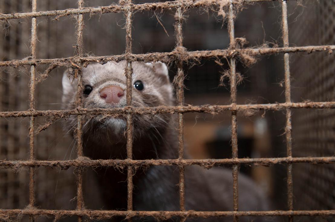 Grondwettelijk Hof bevestigt verbod pelsdierkwekerijen in Wallonië