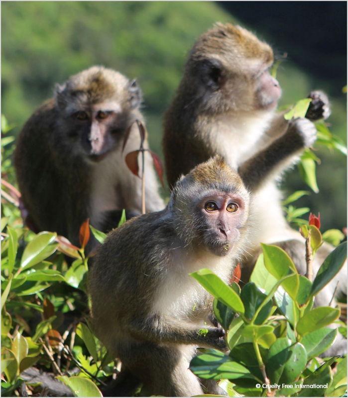 Cruelty Free International_Mauritius Wild Monkey (16)