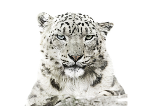 Cruciale Top moet het kritisch bedreigde sneeuwluipaard en zijn habitat redden