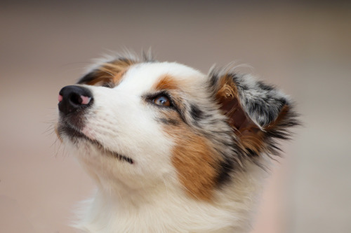 Refus du permis sollicité par le trafiquant de chiots Happy Dogs à Blaton
