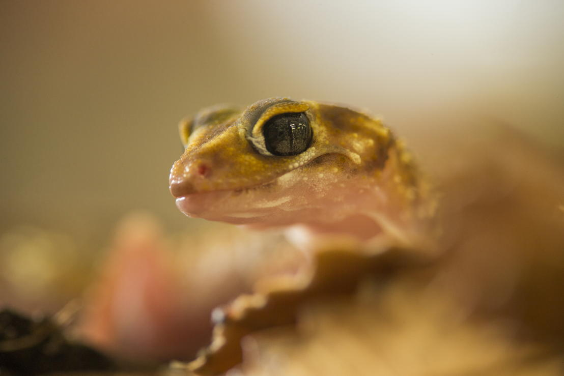 Underwoodisaurus gecko. Image: Stuart Hay, ANU.