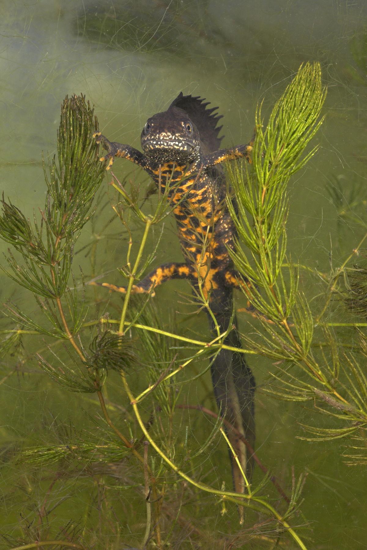 De Grote Getevallei is een leefgebied van de bedreigde kamsalamander