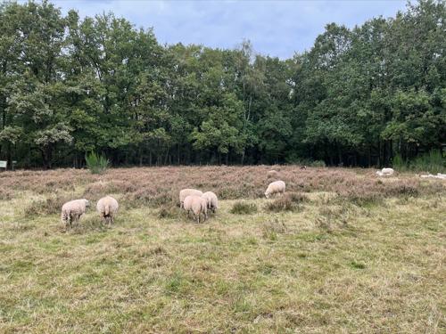 Kudde schapen doet aan natuurbeheer op de Kesselberg