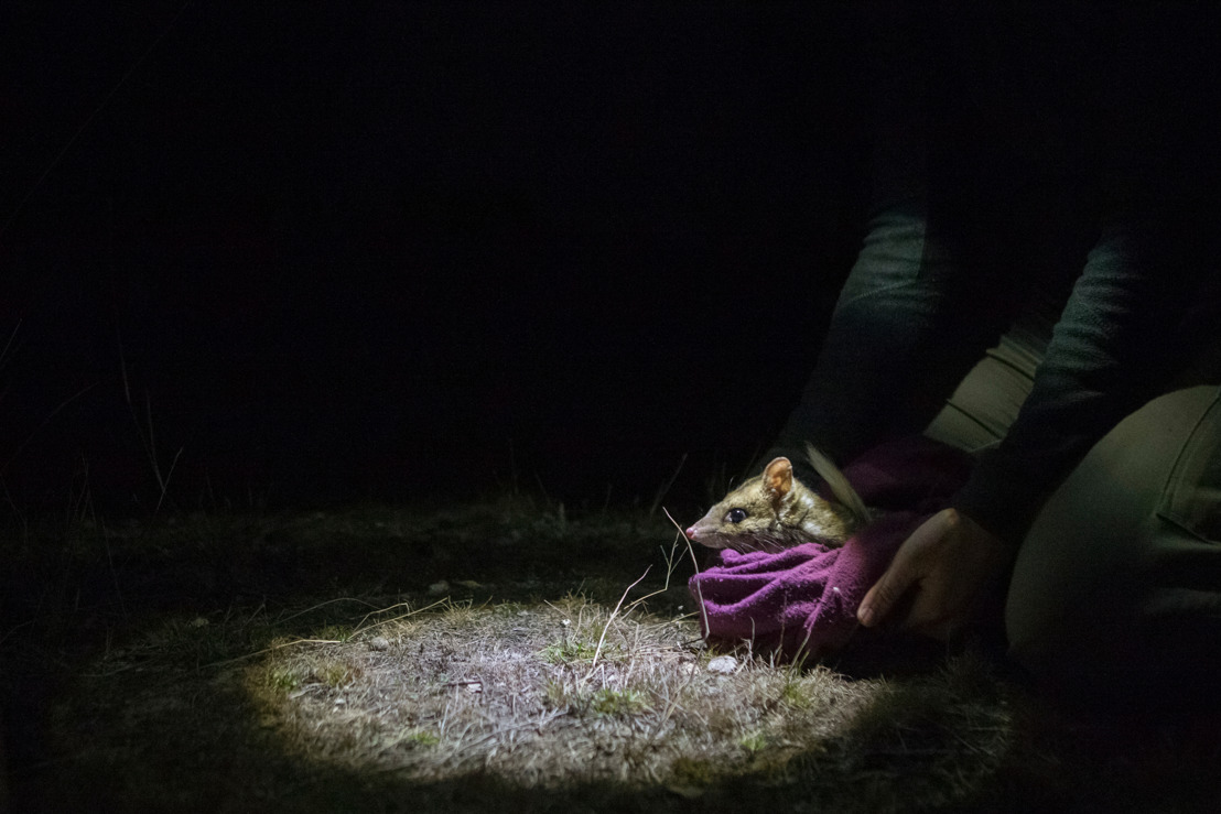 New reintroduction tactics boost eastern quoll survival rates