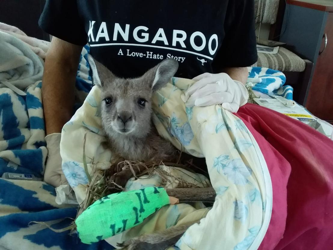 Alle supermarkten halen kangoeroevlees uit de rekken
