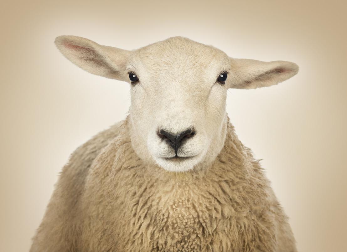 GAIA réfute 10 mythes sur l'abattage sans étourdissement