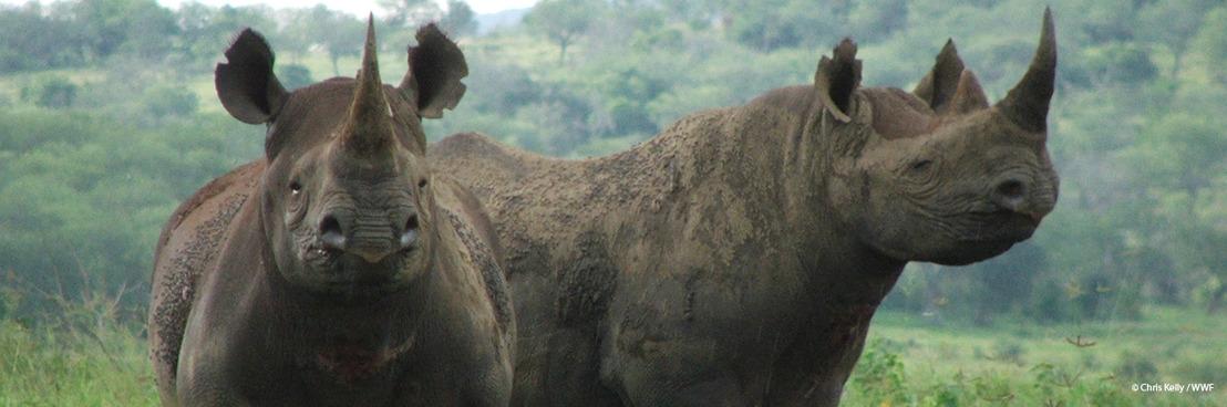 Afrique du Sud : le nombre de rhinocéros braconnés recule mais reste à un niveau inquiétant