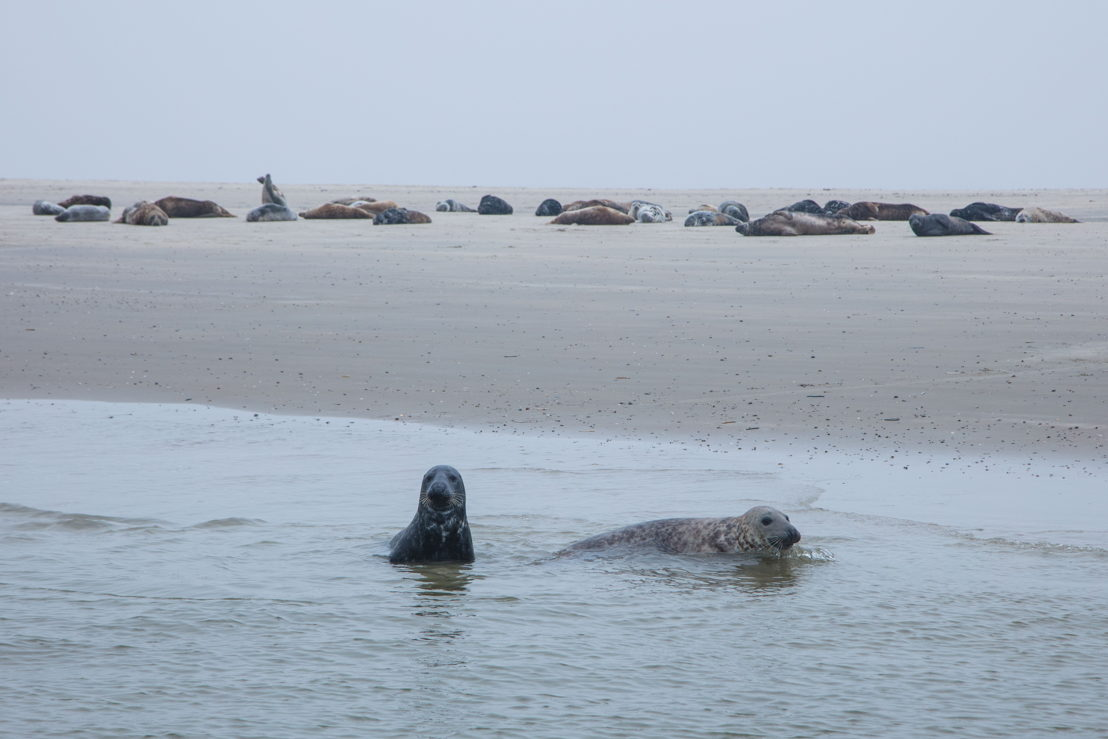 Grey seals on Richel sand bank in Wadden Sea,  between Vlieland and Terschelling, West Frisian Islands, Friesland, Netherlands © Holger Leue for Merk Fryslan