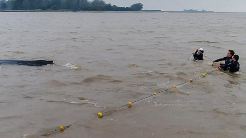 Rescatistas salvaron a una ballena varada y atrapada en una red de pesca durante la tormenta del fin de semana