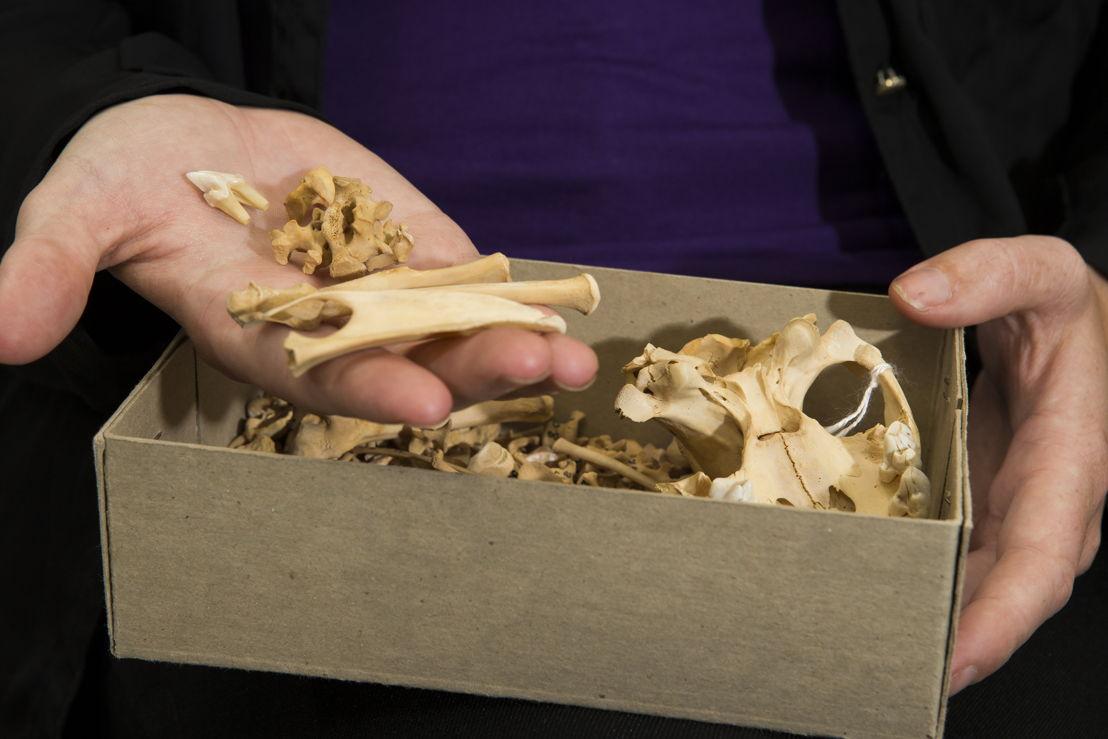 ANU PhD scholar Shimona Kealy holds Tasmanian Devil bones. Image credit: Stuart Hay, ANU