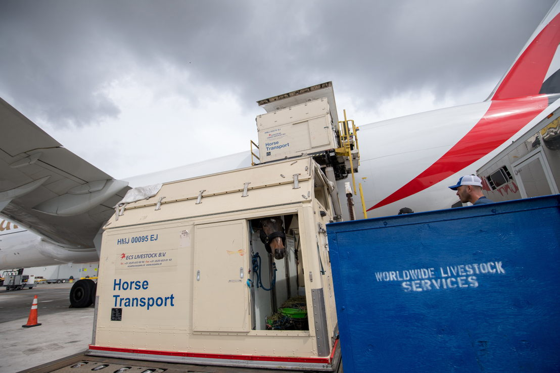 Close to 100 horses were transported from Mexico City to Miami on two dedicated freighters