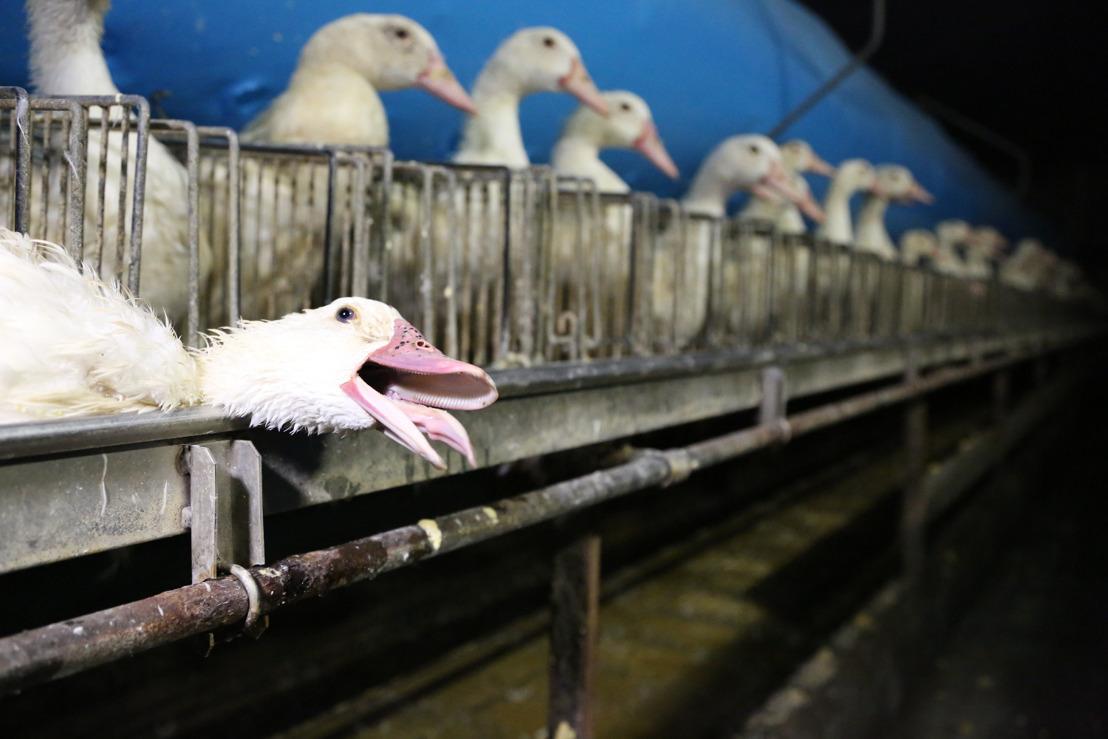 Nouveau rapport sur le bien-être des canards lors la production de foie gras