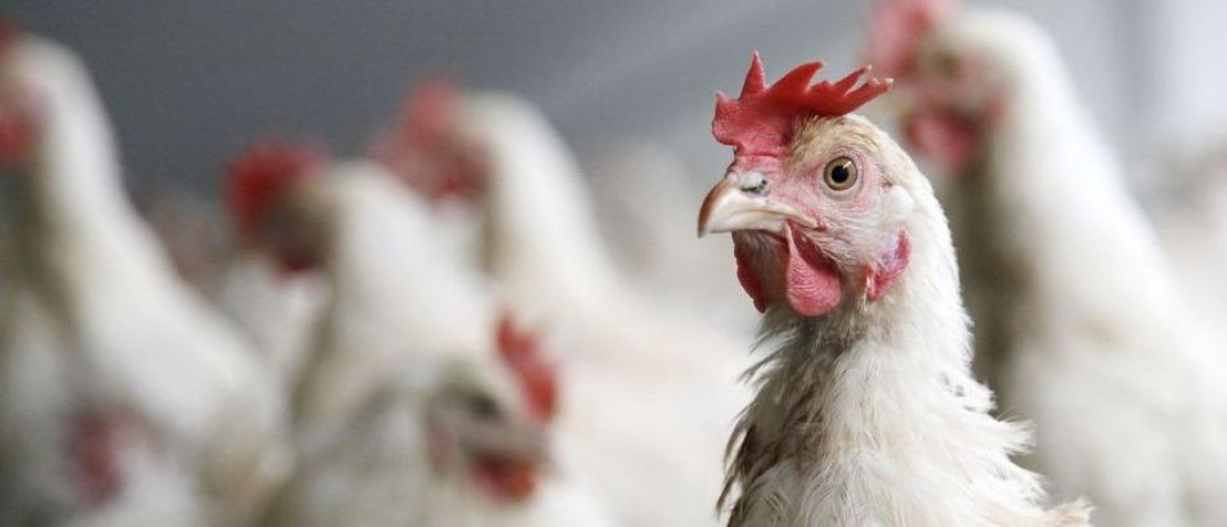 ANTIBIOTICO-RESISTENZA: AVICOLTURA ITALIANA, DAL 2013 RIDOTTO DEL 40% L'USO DEI FARMACI NEGLI ALLEVAMENTI