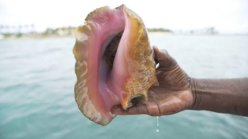 Queen conch caught by underwater diver (photo credit: Christian Harris)