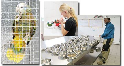 Left:  A Vincentian Parrot, Amazona Guildingii, secured and well cared for at the ACTP facility in Germany. Saint Lucian Timotheus Jean Baptiste, Project Coordinator, prepares food for the young parrots. Inset: Katrin Scholtyssek takes extra care in feeding a young parrot. © The Vincentian