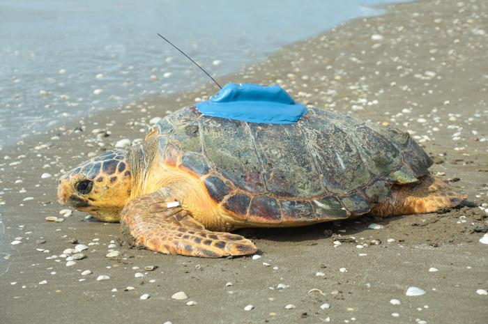 Utilizan rastreadores satelitales para conservar a las tortugas marinas