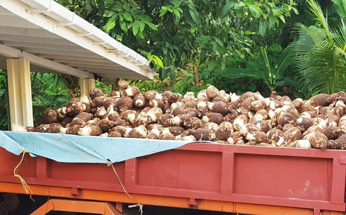 Truckload of dasheen to be exported.