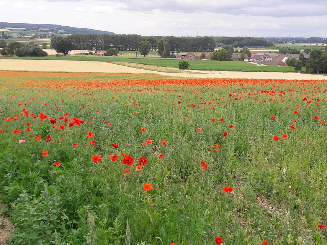 100 hectare ingezaaide klaproosvelden symboliseren 100 jaar einde Groote Oorlog