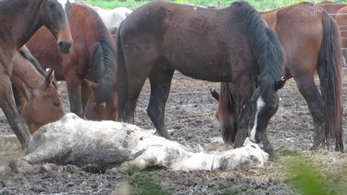 Dans l'enfer de la viande chevaline en Argentine, en Uruguay et au Canada
