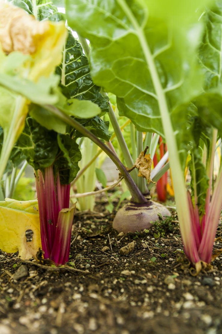 Red Chard and Beetroot - Growing Own Food (photo credit Pike Nurseries)