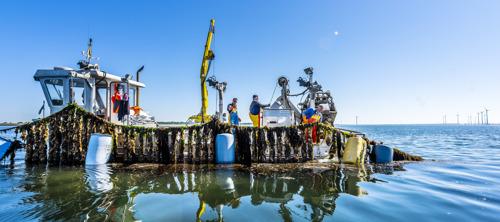 Eerste Zeeuwse hangcultuurmosselen van het seizoen geoogst
