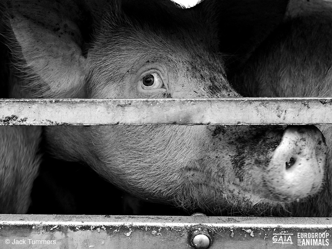 Ministers dierenwelzijn ondersteunen campagne GAIA tegen verre veetransporten