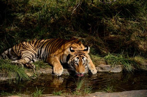 WWF onthult nieuw rapport over de ongeziene voordelen van het redden van wilde tijgers en lanceert eindejaarscampagne