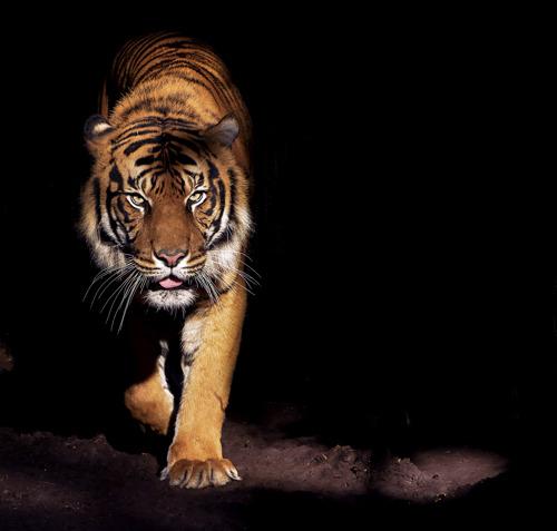 WWF lanceert onuitgegeven programma om tijger terug te brengen naar Cambodia